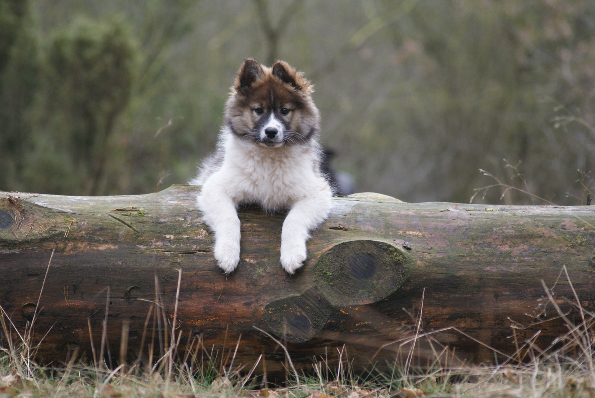 Hund Akilah