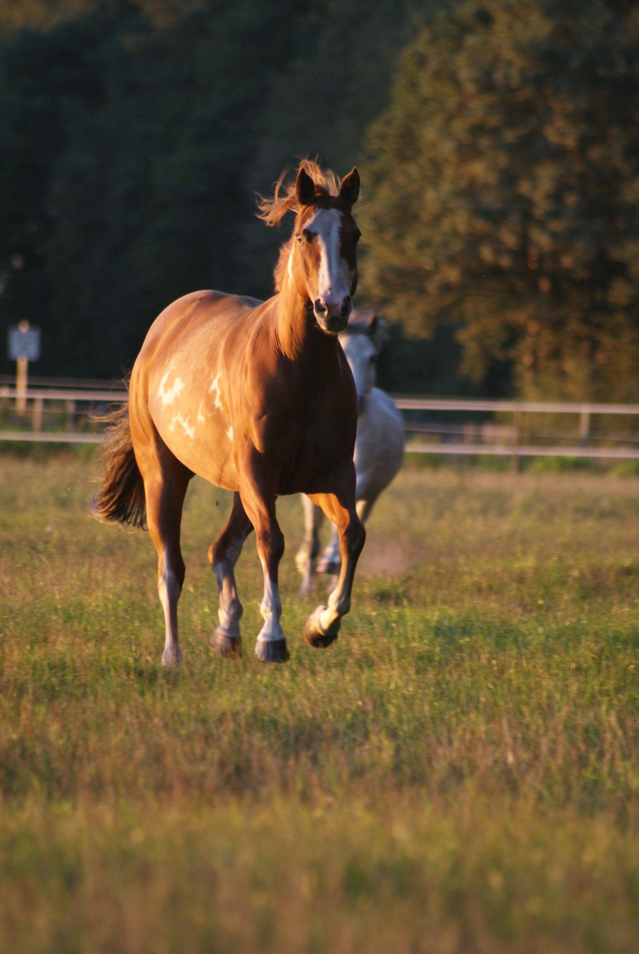 Pferd Cheyanna
